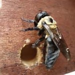 carpenter bee and hole
